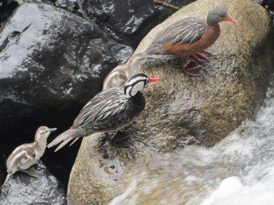 Pato-Cortacorrientes